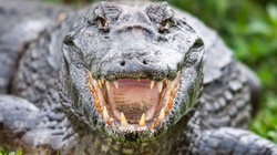 Đứng trên đầu cá sấu vì tưởng khúc gỗ, nhận bài học nhớ đời