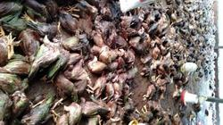 Quảng Nam: Gà chết vì lũ giá hỗ trợ chỉ 5.000 đồng/con, dân bức xúc