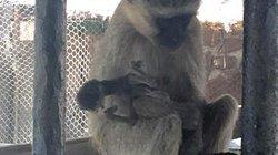 Video: Đau xót cảnh khỉ mẹ mang xác con chết khô không rời suốt 10 ngày