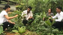 Khôi nhung là loài cây gì mà dân ở đây bán mấy trăm ngàn 1kg lá?