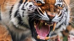 Video: Con hổ may mắn nhất thế giới với chiếc răng nanh bọc vàng