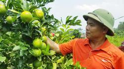 7X xứ Lạng với bí quyết trồng cam đặc sản Hà Nội quả ra trĩu cành