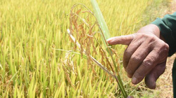 Kon Tum: Nông dân khóc ròng vì gặt toàn lúa lép, nguy cơ mất trắng