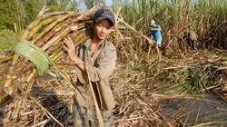 3.000 tấn đường lậu đe dọa ngành mía đường