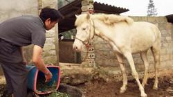 """Độc đáo: Làm giàu nhờ nghề nuôi loài ngựa trắng """"toàn tập"""" ở Lào Cai"""