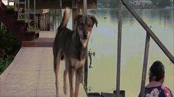Thái Lan: Bị lạc vì ngã xuống nước, chú chó ngày ngày ra bến sông chờ chủ