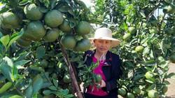 Gia Lai: Bất ngờ được ngắm vườn cam sành trái đã to lại sai quả