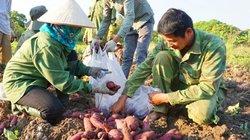 Hòa Bình: Từ cây chống đói, giờ trồng khoai lang cả làng phấn khởi