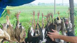 Thảm sát chim trời: Đủ kiểu bẫy, treo lủng lẳng cả đàn ven đường