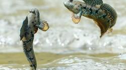 """Mất gần 2 năm """"rình"""" loài cá kỳ lạ ở Việt Nam có điệu múa tuyệt vời"""