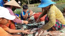 Mùa lũ dân ở đây nuôi cá  ruộng, chả phải cho ăn mà bắt được cả tấn
