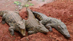 Bé gái 11 tuổi tay không dùng đòn hiểm tấn công cá sấu cứu bạn đang bị kéo xuống sông