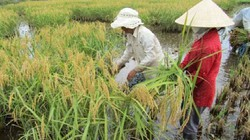 Nếp Hương Lân hơn 300 tuổi, thơm ngon nức tiếng được trồng ở đâu?