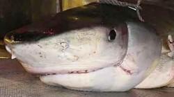 Bàn tay đeo nhẫn trong bụng cá mập hổ hé lộ sự thật kinh hoàng