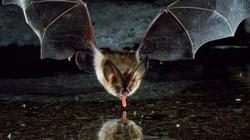 Loài dơi quỷ huyền thoại chuyên hút máu như ma cà rồng