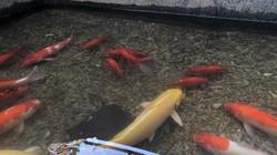 """Tháo """"bảo bối"""" hồi sinh sông Tô Lịch, đàn cá Koi Nhật Bản đi đâu?"""