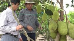 Phú Yên: Trồng cây trái cho khách du lịch vô hái, kiếm bộn tiền