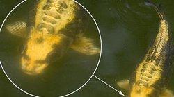 Khiếp sợ cá chép mặt người kỳ quái nổi lên trên hồ nước