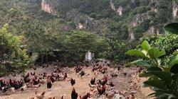 Tái cơ cấu nông nghiệp: Liên kết nuôi gà lãi 50.000 đồng/con, nông dân xin vào HTX