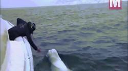 """Video: Cá voi trắng bị nghi là điệp viên Nga gây """"bão"""" khi chơi ném bóng với người"""