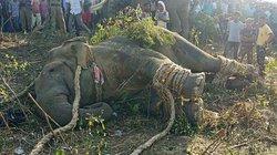 Giết hại 70 người, voi mang tên trùm khủng bố Bin Laden bị bắt sống