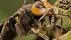 Ghê rợn loài ong khổng lồ có thể giết người bằng một vết đốt