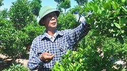 Đông Anh: Trồng rau an toàn, quất cảnh, nhà nông thu tiền tỷ