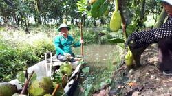 An Giang: Chống nạng trồng mít Thái, hái trái phải dùng thuyền chở