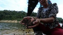 Điện Biên: Vào rừng nhặt thứ hạt nhỏ thôi, nhưng rang thơm cả xóm