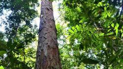 Cây cao nhất trong rừng rậm Amazon là cao bao nhiêu mét?