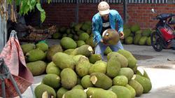 Trái mít Thái, cây giống mít Thái cùng rủ nhau tăng giá mạnh