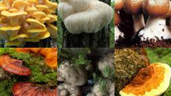 Thập đại đặc sản nấm đẹp như cổ tích lại ngon bổ quý nhất đất Việt
