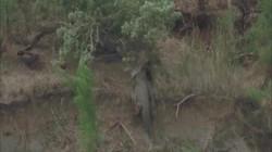 Video: Sư tử để xác ngựa vằn bên vách đá, quay lại đã bị kẻ khác nẫng tay trên
