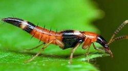 Kinh hãi độc tố kiến ba khoang mạnh gấp 12 - 15 lần nọc rắn hổ mang