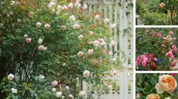 Thiên đường bình yên giữa lòng Hà Nội trong vườn hồng triệu bông rực rỡ