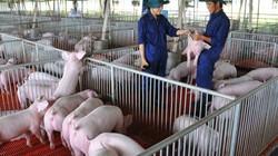 Giá heo hơi hôm nay 19/11: Lên 76.000đ/kg, sẽ nhập khẩu thịt lợn để kìm giá