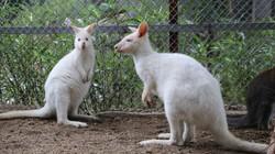 """Clip: Tròn mắt ngắm đàn """"kangaroo mini"""" lần đầu xuất hiện ở Việt Nam"""