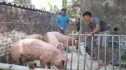 Kiểm soát chặt xuất khẩu lợn hơi đường tiểu ngạch