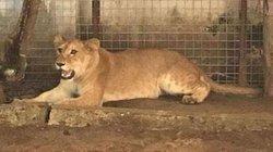 Nigeria: Nuôi sư tử làm... chó giữ nhà