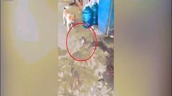 Bị dồn vào đường cùng, chuột quay lại đuổi cắn khiến chó mèo hoảng loạn