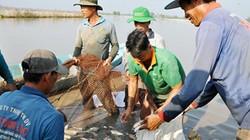 Lũ rút, chớm mùa khô, dân miền Tây bắt cả tấn cá ở ruộng lúa