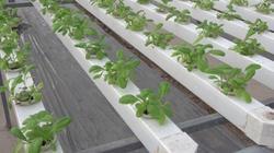 Clip: Mô hình trồng rau không cần đất hiện đại của nông dân Hà Nội