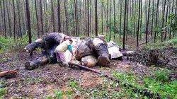 Indonesia: Đau xót cảnh voi quý hiếm bị thợ săn chặt đầu, cướp ngà
