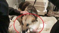 Cứu chó cụt chân bị bỏ đói lâu ngày, phát hiện điều đau xót trong bụng