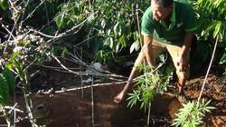 """Đắk Lắk: Thu giữ hơn 100 cây gây nghiện """"quốc cấm"""" trồng ở rẫy"""