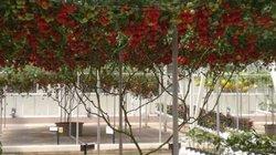 """Loại cây mọc hoang nay cho quả """"gây sốt"""", ở Việt Nam từng bán 1 triệu/kg"""