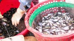 Miền Tây đồng rặc nước, đặt lú vẫn bắt được nhiều cá rô, cá lóc