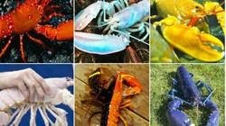 6 con tôm hùm có màu sắc cực dị, có loại 100 triệu con mới có 1