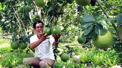 Cà Mau: Đất phèn mặn trồng bưởi da xanh trái to hơn mặt người