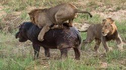 Sư tử chọc giận hà mã và cái giá phải trả